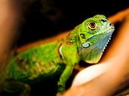 如何调教训练绿鬣蜥?