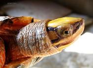 三线闭壳龟的常见病