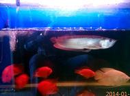银龙鱼混养方面的注意点