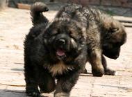 世界上最大的狗高加索犬的体型是怎么样的?
