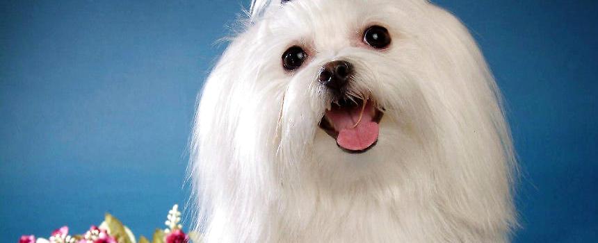 如何给马尔济斯犬美容 狗狗美容-波奇网百科大全