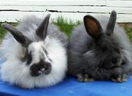 巨型安哥拉兔竟曾被纳粹重视