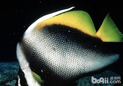 黑白关刀蝶鱼该怎么饲养?