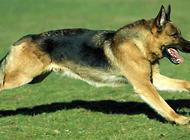 德国牧羊犬选购时要注意什么?