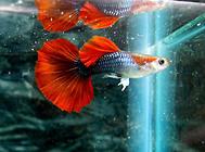 孔雀鱼跳缸的原因是什么?