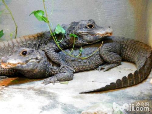 最小的鳄鱼——非洲侏儒鳄