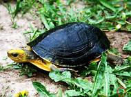 金头闭壳龟的饲养要点