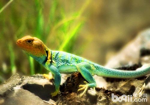 饲养蜥蜴有危险么?