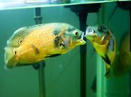 怎么让地图鱼恢复食欲?