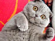 购买英国短毛猫用品的注意事项