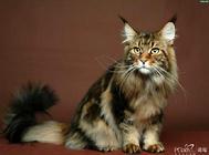 如何挑选挪威森林猫