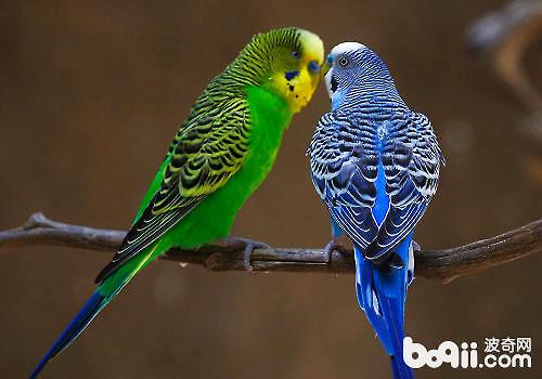虎皮鹦鹉是全世界最普遍的宠物鸟,品种繁多,顽皮可爱,受到大众广泛
