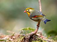 红嘴相思鸟如何区分公母