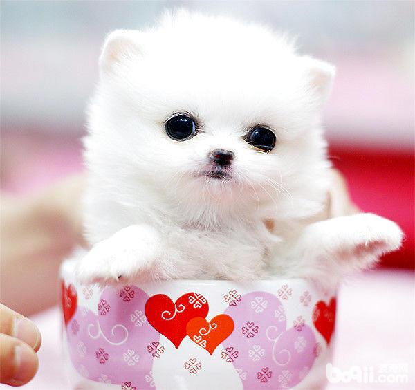 吉娃娃茶杯犬不仅是可爱的小型宠物犬,同时也具备大型犬的狩猎与防范