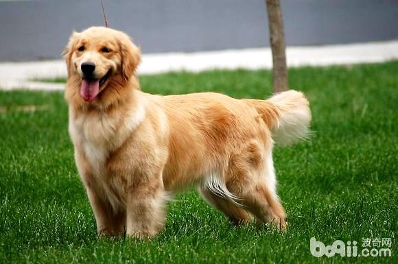 什么是赛级金毛?赛级金毛与宠物级金毛有何区别?