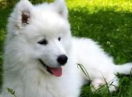 如何挑选出一只健康的萨摩耶幼犬