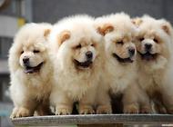 怎么挑选一只好训练的松狮幼犬