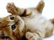 清除猫咪跳蚤的方法