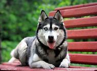 怎样可以快速挑选出一只性格好的哈士奇幼犬