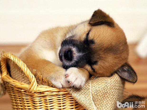购买雪纳瑞时,如何识别哪个狗场或者宠物店好