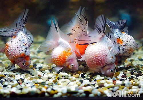 如何让金鱼安然度过黄梅天?