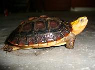 黃緣閉殼龜飼養注意點