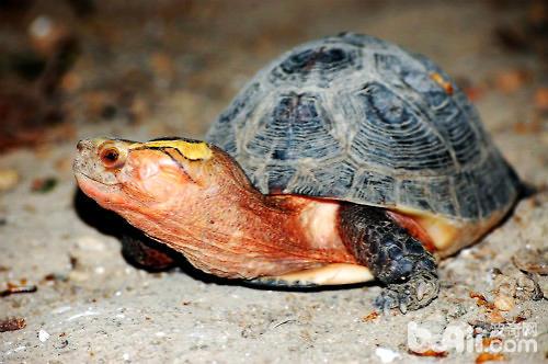 黄缘闭壳龟饲养注意点