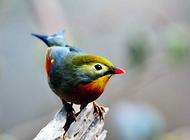 如何饲养红嘴相思鸟