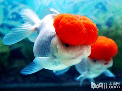 鹤顶红金鱼饲养的注意点