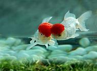 鶴頂紅金魚飼養的注意點