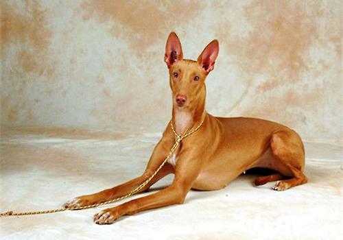 已存在至少五千年的古老犬种——法老王猎犬
