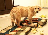 纠正金毛破坏家具的行为