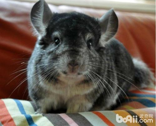 南美洲栗鼠的喂食方法