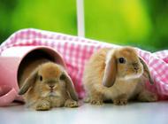 迷你垂耳兔饲养注意点