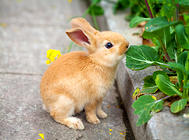 宠物兔头歪了怎么回事?