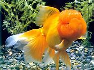 狮子头金鱼如何饲养