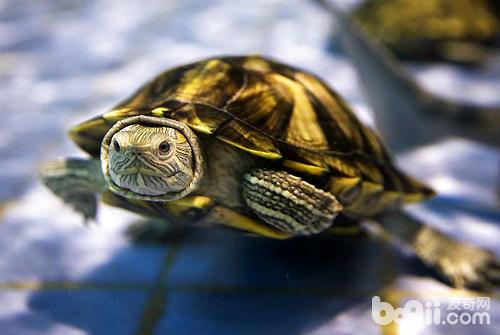 龟怎么分公母图片