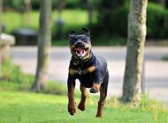 为什么最优秀的罗威纳犬都来自德国?