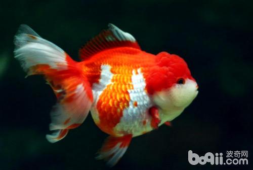 獅子頭金魚如何飼養