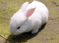 小白兔不习惯被人抱怎么办?