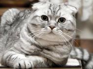 苏格兰折耳猫必须要绝育吗