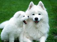 爱斯基摩犬如何训练