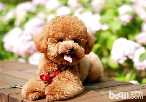 泰迪乖巧可爱,是很多人爱不释手的宠物狗狗,走到哪儿都想抱着它.