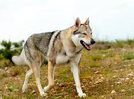 狼的外貌,狗的性格——捷克狼犬