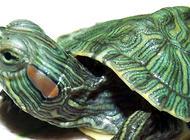巴西红耳龟是生态杀手?