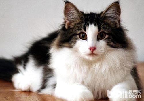 受人欢迎的挪威森林猫是如何产生的?