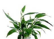 自己动手将盆栽养成水培植物的方法