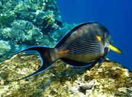 丝绒倒吊鱼是怎么样的一种鱼?