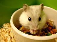 仓鼠的寿命有多久
