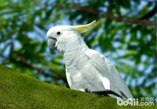 小葵花凤头鹦鹉的饲养环境